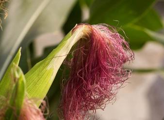 玉米须千赢手机app下载官网 Corn Stigma P.E.