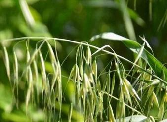 燕麦草千赢手机app下载官网
