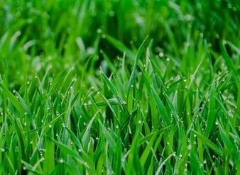 小麦苗汁粉,小麦苗粉,小麦苗千赢手机app下载官网,麦苗汁粉